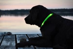 Използвайте LED нашийник за да виждате вашето куче при вечерните разходки